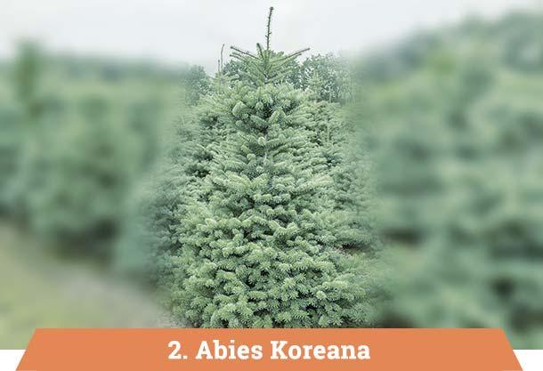 Abies koreana kerstbomen kopen