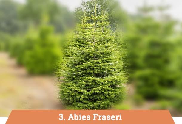 abies fraseri kerstboom kopen