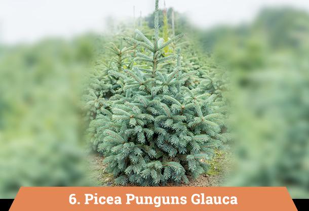 picea punguns glauca kerstboom kopen