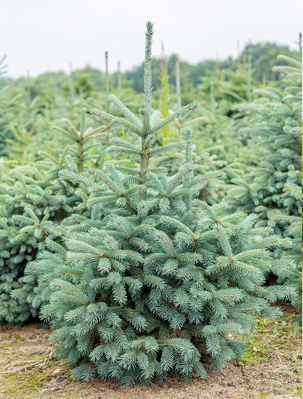 Picea Punguns Glauca